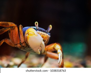 An African, or Nigerian rainbow crab, Cardisoma armatum, colored with blue and red stands half-turn with its big right claw to the camera. The eyes of the crab are rised on eyestalks