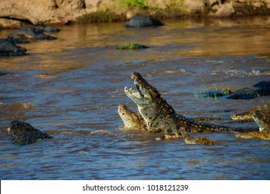 African Nile Crocodiles in the Mara River with zebra carcass in mouth in Masai Mara, Kenya