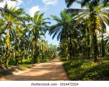 African oil palm cultivation