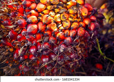 African Oil Palm(Elaeis guineensis). Oil palm originates from west africa but its cultivated in many tropical regions of the world. Indonesia & Malaysia produce about 85% of the palm oil in the world.
