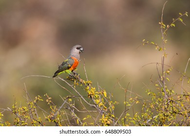 African Orange-Bellied Parrot male (Poicephalus rufiventris) or Red-Bellied Parrot in Samburu National Reserve, Kenya
