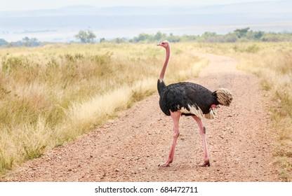 African Ostrich or Common ostrich in a grass land of Masai Mara - Kenya