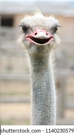 African ostrich funny face