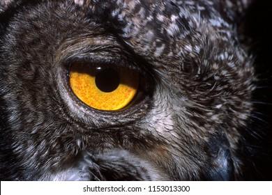African owl Bubo africanus