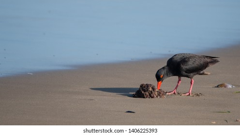 African oystercatcher with bright red beak and legs, on the beach near Boggams Bay / Mossel Bay, on the Oystercatcher Trail.