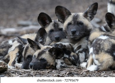 African painted wild dog puppies (Lycaon pictus)