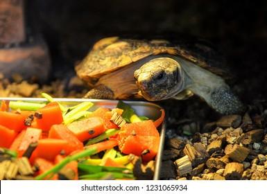 african pancake toroise eating feed food / Malacochersus tornieri