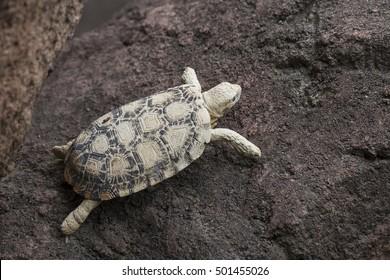 African Pancake Tortoise, also called Malacochersus tornieri.