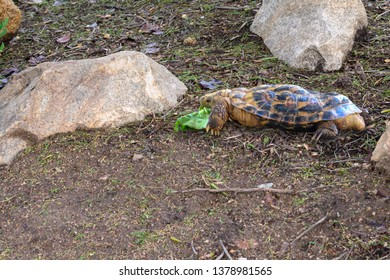 African pancake tortoise, Malacochersus tornieri, is native to Tanzania and Kenya. Its common name refers to the flat shape of its shell.