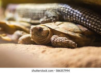 African pancake tortoise (Malacochersus tornieri). Flat-shelled tortoise in the family Testudinidae, native to Tanzania and Kenya, showing flattened carapace