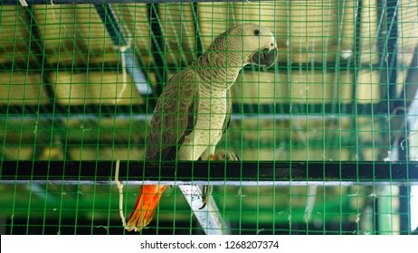 African parrots in cage