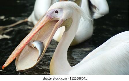 African pelican Pelecanus onocrotalus eating a fish