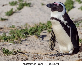 African penguin, black-footed penguin or jackass penguin (Spheniscus demersus). Boulders Beach. Simon's Town. Cape Town. Western Cape. South Africa