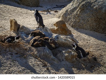 African penguin, black-footed penguin or jackass penguin (Spheniscus demersus) adults and chicks in nursery. Cape Town. Western Cape. South Africa