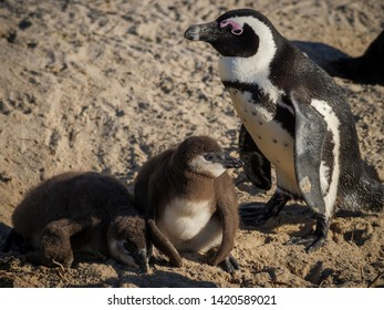 African penguin, black-footed penguin or jackass penguin (Spheniscus demersus) adult and chicks in nest. Boulders Beach. Simon's Town. Cape Town. Western Cape. South Africa