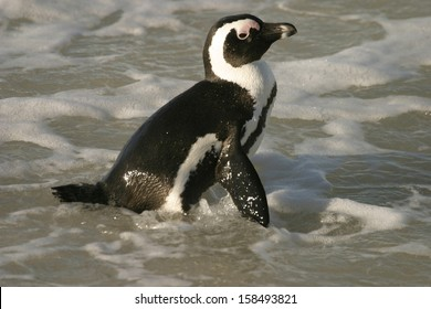 african penguin, blackfooted penguin, spheniscus demersus, south-africa