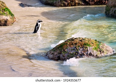 African Penguin at Boulders Beach, Simonstown in Cape Town