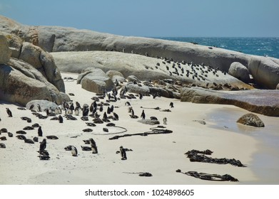 African penguin colony at Boulders Beach in Simon's Town at the Cape of Good Hope, South Africa