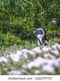 An African Penguin enjoying the sun in the sand