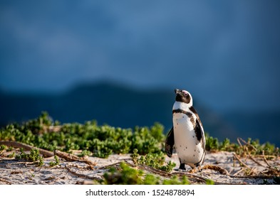 African penguin also known as the jackass penguin, black-footed penguin. Scientific name: Spheniscus demersus.  South Africa