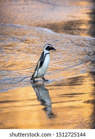 African penguin on the sandy beach in sunset light. African penguin also known as the jackass penguin, black-footed penguin. Scientific name: Spheniscus demersus. South Africa