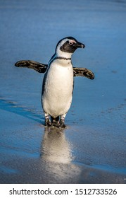 African penguin on the sandy beach. African penguin also known as the jackass penguin, black-footed penguin. Scientific name: Spheniscus demersus. South Africa