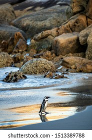 African penguin on sandy beach. African penguin also known as the jackass penguin, black-footed penguin. Scientific name: Spheniscus demersus.  South Africa. Boulders Beach