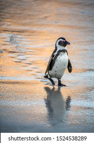 African penguin on the sandy beach at evening twilight. African penguin also known as the jackass penguin, black-footed penguin. Scientific name: Spheniscus demersus.  South Africa