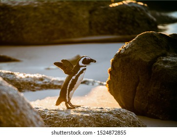 African penguin on the sandy beach at sunset. African penguin also known as the jackass penguin, black-footed penguin. Scientific name: Spheniscus demersus.  South Africa