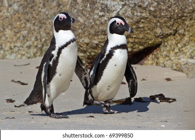 African Penguin, South Africa