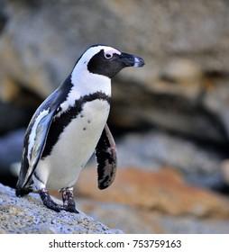 African penguin (spheniscus demersus) go ashore from the ocean at evening twilight. African penguin (spheniscus demersus) at the Boulders colony. South Africa.
