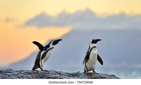 The African penguin (Spheniscus demersus). The African penguin on the shore in twilight evening with sunset sky. South Africa.