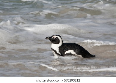 African penguin swimming in the ocean. Also known as the jackass penguin and black-footed penguin.  Boulders colony. South Africa