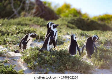 African Penguins in Bolder's Beach, South Africa