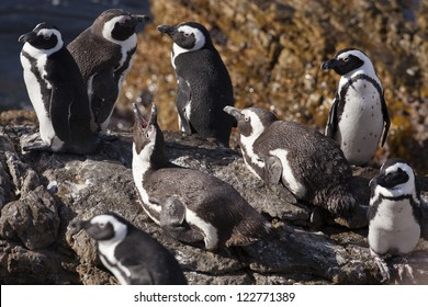 African penguins at colony, Western Cape, South Africa