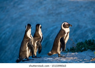 African penguins. Dark blue background. African penguin also known as the jackass penguin, black-footed penguin. Scientific name: Spheniscus demersus.  South Africa. Boulders Beach