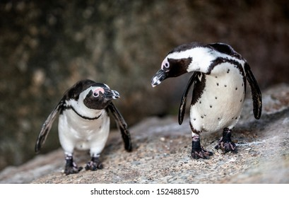 African penguins also known as the jackass penguin, black-footed penguin. Scientific name: Spheniscus demersus.  South Africa
