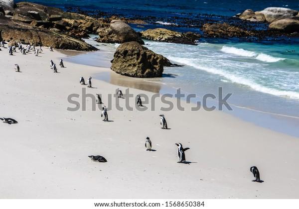 african-penguins-latin-spheniscus-demers