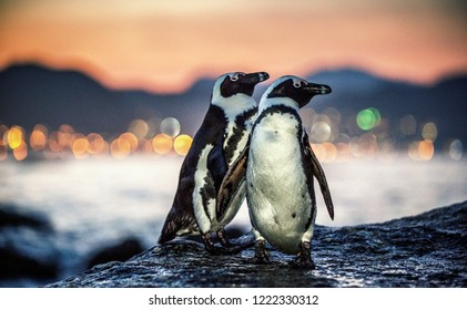 African penguins on the rock coast at sunset twilight. African penguin ( Spheniscus demersus) also known as the jackass penguin and black-footed penguin. Boulders colony. Cape Town. South Africa