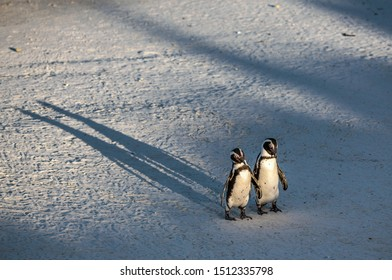 African penguins on the sandy beach in sunset light. African penguin also known as the jackass penguin, black-footed penguin. Scientific name: Spheniscus demersus. Boulders colony. South Africa