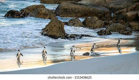 African penguins on the sandy beach at sunset twilight. African penguin also known as the jackass penguin, black-footed penguin. Scientific name: Spheniscus demersus.  South Africa