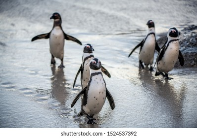 African penguins on the sandy beach. African penguin also known as the jackass penguin, black-footed penguin. Scientific name: Spheniscus demersus.  South Africa