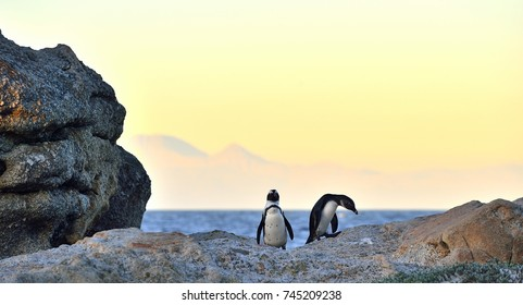 African penguins on the stone in evening twilight. African penguin ( Spheniscus demersus) also known as the jackass penguin and black-footed penguin. Boulders colony. South Africa
