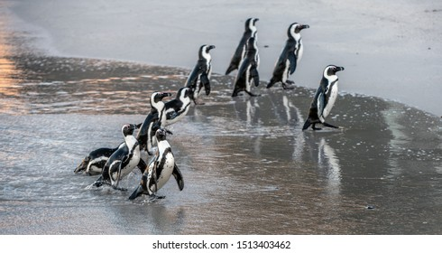 African penguins. African penguin also known as the jackass penguin, black-footed penguin. Scientific name: Spheniscus demersus.  South Africa