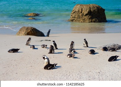 African penguins (Spheniscus demersus) on Boulders Beach. South Africa