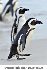 The African penguins (Spheniscus demersus). South Africa