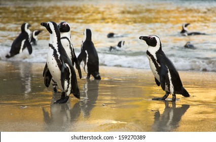 African Penguins at sunrise. Boulders Beach, Cape Town, South Africa