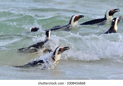 African penguins swim in the ocean. Foam of the surf. African penguin (Spheniscus demersus) also known as the jackass penguin and black-footed penguin. Boulders colony. South Africa