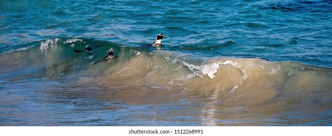 African penguins swiming in the ocean. African penguin also known as the jackass penguin, black-footed penguin. Scientific name: Spheniscus demersus.  South Africa
