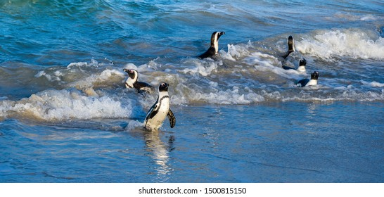 African penguins walk out of the ocean to the sandy beach. African penguin also known as the jackass penguin, black-footed penguin. Scientific name: Spheniscus demersus. Boulders colony. South Africa